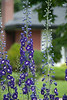 Delphiniums, again, with my neighbour's house in the background.