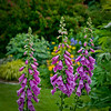 Foxgloves with Stella D'Oro daylily in background and Goldstripe Hakone grass to the left.