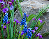 Grape Hyacinth-2