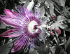 Passion flower vine (16 of 16)