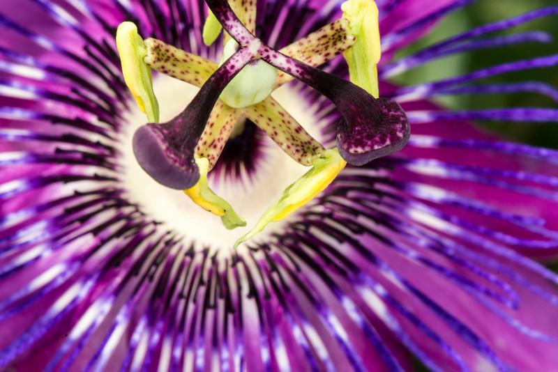 Passion flower vine (1 of 16)