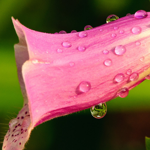 Foxglove and raindrops-7