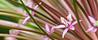 Allium-22