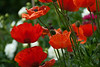 Oriental poppies. One of my wife's favourite flowers.