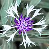 Centaurea Amethyst in the Snow-3