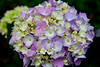 'Endless Summer Hydrangea'. So called because it keeps blooming throughout the summer, I suppose (and hope). New to me this summer. It seems to be the 'rage' at the garden centres and in gardening magazines.