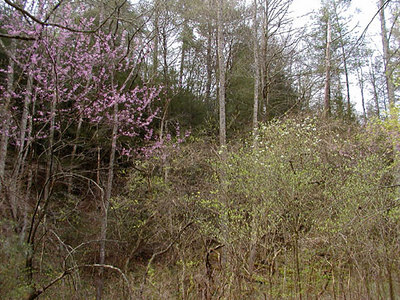 Redbuds and Dogwoods<br /> Whiteoak Sink<br /> GSMNP April 3, 2007