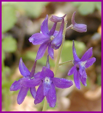 Dwarf Larkspur<br /> GSMNP April 25, 2007