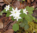 Rue Anemone (Thalictrum thalictroides)  Ranunculacea Whiteoak Sink GSMNP April 3, 2007