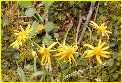 Golden Ragwort (Senecio Aureus) Asteracea Whiteoak Sink GSMNP April 3, 2007