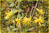 Golden Ragwort (Senecio Aureus)<br /> Asteracea<br /> Whiteoak Sink<br /> GSMNP April 3, 2007