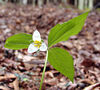 Persistent trillium (T. persistens)<br /> An endangered wildflower!<br /> Found heading back to the Bluebell Hole<br /> Whiteoak Sinks<br /> GSMNP April 3, 2007