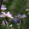 Wild_Flower_Vufflens-Chateau_2009_0001