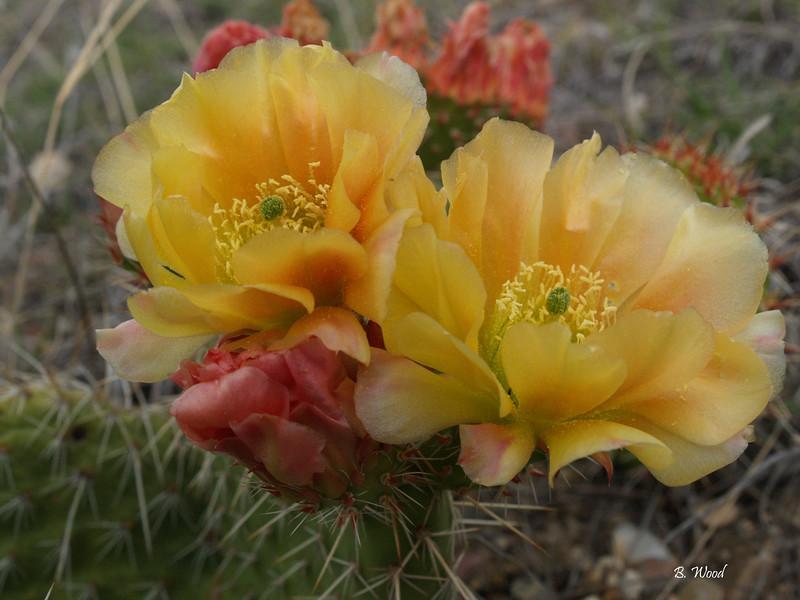 9256 Prickly Pear Cactus (Opuntia spp)