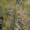 Wild_Flower_Vufflens-Chateau_2009_0011