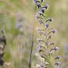 Wild_Flower_Vufflens-Chateau_2009_0010