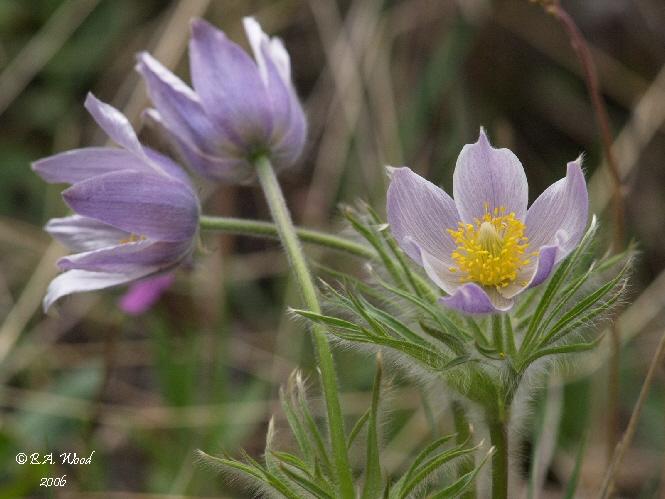 Pasque Flowers, aka prairie crocus (Pulsatilla spp.)
