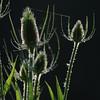 Wild_Flower_Vufflens-Chateau_2009_0023