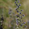 Wild_Flower_Vufflens-Chateau_2009_0012