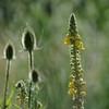 Wild_Flower_Vufflens-Chateau_2009_0002