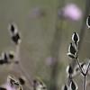 Wild_Flower_Vufflens-Chateau_2009_0015