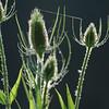 Wild_Flower_Vufflens-Chateau_2009_0022