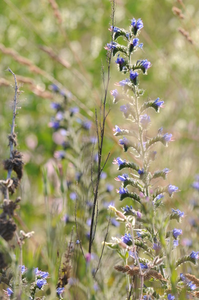 Wild_Flower_Vufflens-Chateau_2009_0009