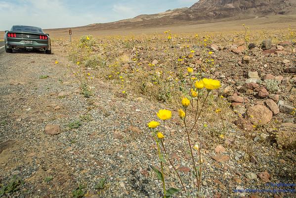Wild Flowers Death Valley March 19,2016
