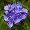 Plateau spiderwort, Edward's spiderwort, Barton Creek Greenbelt, Austin Texas.