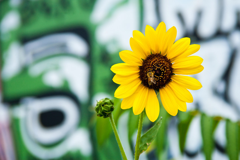 Sunflower And Graffiti