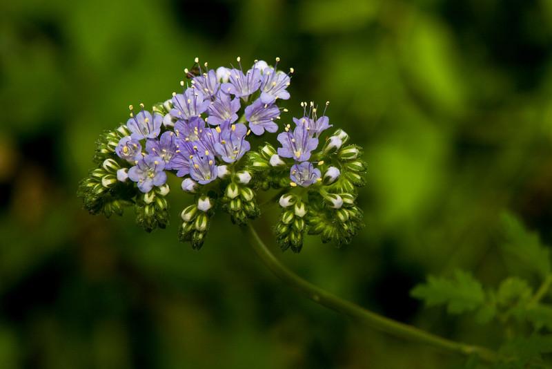 Blue Curls (Fiddleneck) - Barton Creek Greenbelt Austin, Texas
