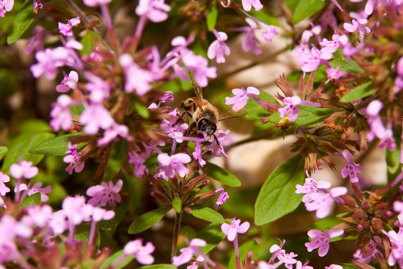 Bee Gathering Pollen From Slender False Pennyroyal. Member Of The Mint Family. Barton Creek Greenbelt Austin, Texas.