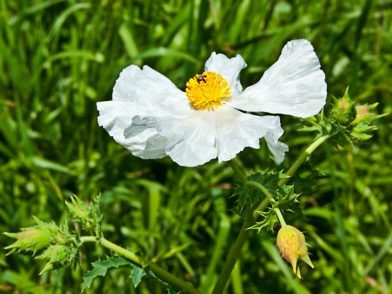 Prickly Poppy, Mckinney Roughs Park, Texas