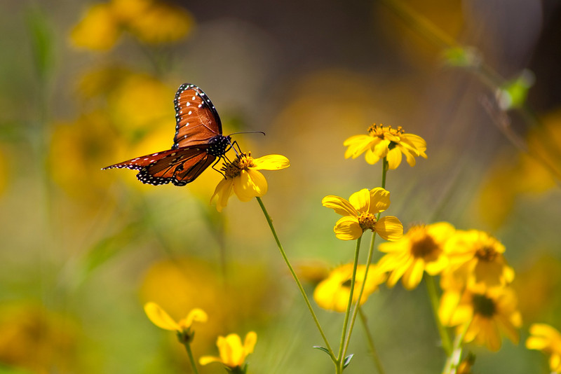 "Queen Butterfly on coreopsis. Reimers Ranch State Park<br /> <br /> My Facebook Blog - <a href=""https://www.facebook.com/pages/Mark-Everett-Weaver-Photographer/163004207059413?ref=hl"">https://www.facebook.com/pages/Mark-Everett-Weaver-Photographer/163004207059413?ref=hl</a><br /> <br /> Purchase Prints, Framed Prints, Canvas Prints, Metal Prints, and On a Acrylic as well through this link -<br />  <a href=""http://fineartamerica.com/featured/queen-butterfly-on-coreopsis-mark-weaver.html"">http://fineartamerica.com/featured/queen-butterfly-on-coreopsis-mark-weaver.html</a>"