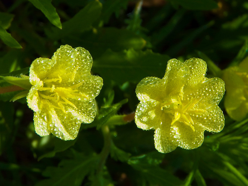 Yellow Primrose Mckinney Roughs Park, Texas