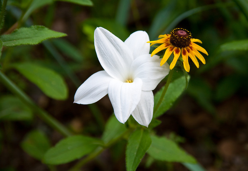 Rain Lilly And Black Eyed Susan
