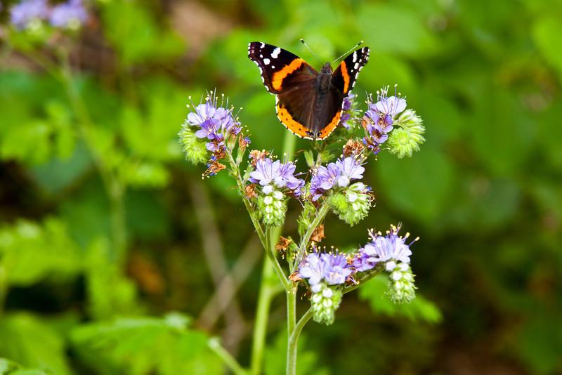 Butterfly and Blue Curls (Fiddleneck) - Barton Creek Greenbelt Austin, Texas