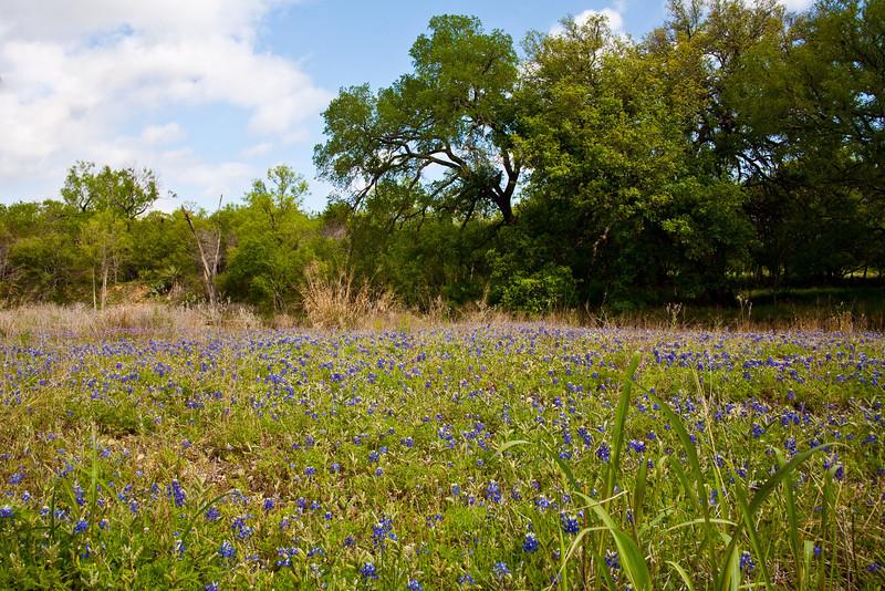 Field of Bluebonnets near Marble Falls