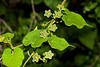 Green Milkweed Vine - Barton Creek Greenbelt Austin, Texas
