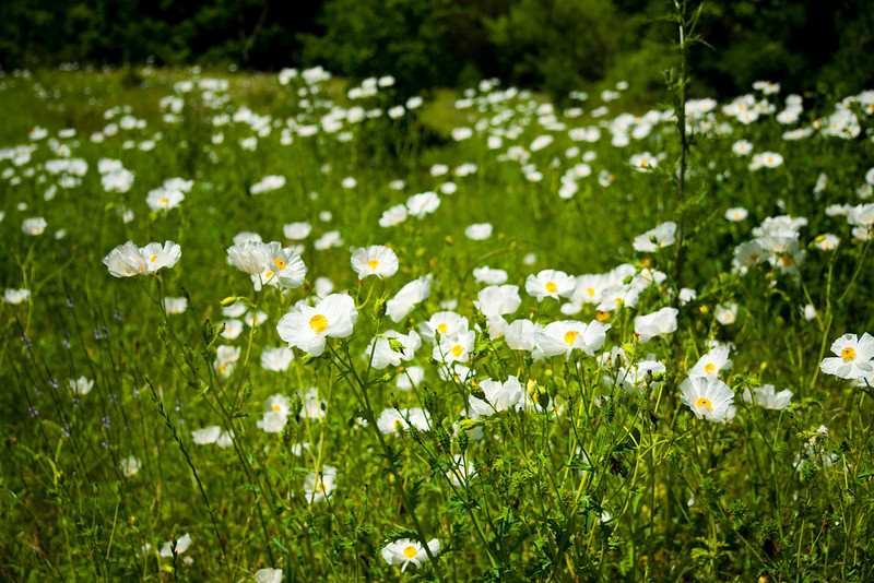 "Field of Prickly Poppies In Spring At Mckinney Roughs <br /> Park, TX<br /> <br /> My Facebook Blog - <a href=""https://www.facebook.com/pages/Mark-Everett-Weaver-Photographer/163004207059413?ref=hl"">https://www.facebook.com/pages/Mark-Everett-Weaver-Photographer/163004207059413?ref=hl</a>"