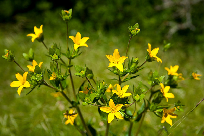 Texas Yellow Star