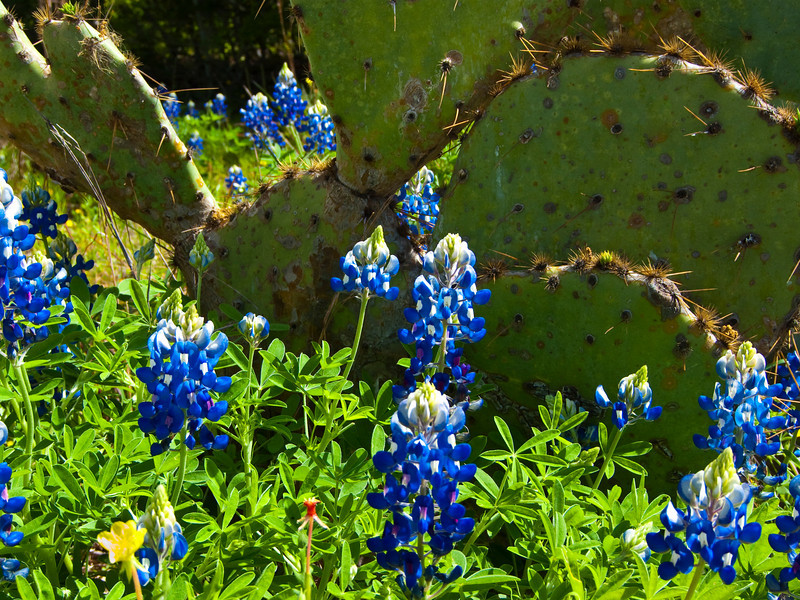 """Texas Blue Bonnets And Prickly Pear Cactus, Mckinney Roughs Park, Texas<br /> <br /> My Facebook Blog - <a href=""""https://www.facebook.com/pages/Mark-Everett-Weaver-Photographer/163004207059413?ref=hl"""">https://www.facebook.com/pages/Mark-Everett-Weaver-Photographer/163004207059413?ref=hl</a><br /> <br /> Purchase Prints, Framed Prints, Canvas Prints, Metal Prints, and On a Acrylic as well through this link - <br />  <a href=""""http://fineartamerica.com/featured/texas-blue-bonnets-mark-weaver.html"""">http://fineartamerica.com/featured/texas-blue-bonnets-mark-weaver.html</a>"""