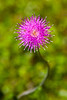 Thistle, Mckinney Roughs, Texas