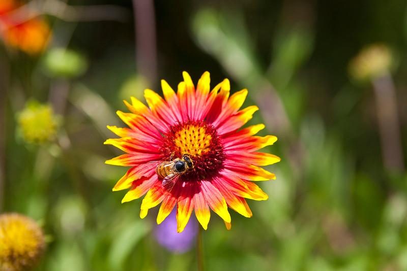 Firewheel or Indian Blanket (Gaillardia pulchella) South Austin, Texas