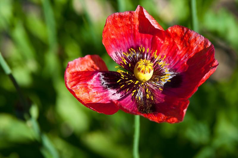 Wild Poppy Bloom
