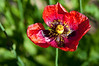Wild Poppy Bloom