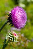 "Texas Thistle (Cirsium Texanum) - Pedernales Falls State Park Johnson City, Texas<br /> <br /> Purchase Prints, Framed Prints, Canvas Prints, Metal Prints, and On a Acrylic as well through this link - <br />  <a href=""http://fineartamerica.com/featured/1-texas-thistle-mark-weaver.html"">http://fineartamerica.com/featured/1-texas-thistle-mark-weaver.html</a>"