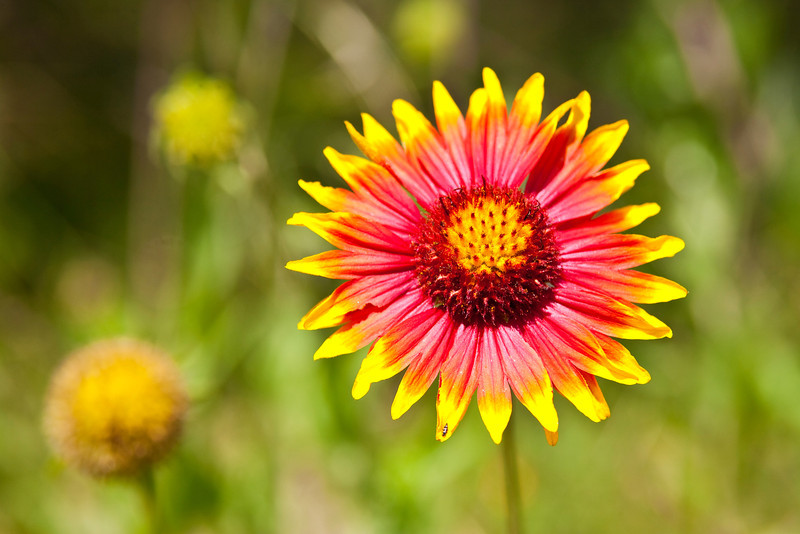 "Firewheel or Indian Blanket (Gaillardia pulchella) South Austin, Texas<br /> <br /> Purchase Prints, Framed Prints, Canvas Prints, Metal Prints, and On a Acrylic as well through this link - <br />  <a href=""http://fineartamerica.com/featured/firewheel-mark-weaver.html"">http://fineartamerica.com/featured/firewheel-mark-weaver.html</a>"