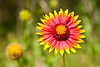 """Firewheel or Indian Blanket (Gaillardia pulchella) South Austin, Texas<br /> <br /> Purchase Prints, Framed Prints, Canvas Prints, Metal Prints, and On a Acrylic as well through this link - <br />  <a href=""""http://fineartamerica.com/featured/firewheel-mark-weaver.html"""">http://fineartamerica.com/featured/firewheel-mark-weaver.html</a>"""