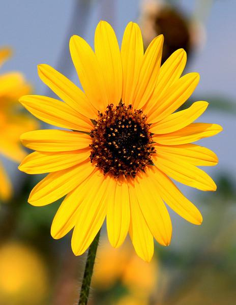 Sunflower, Round Rock, Texas
